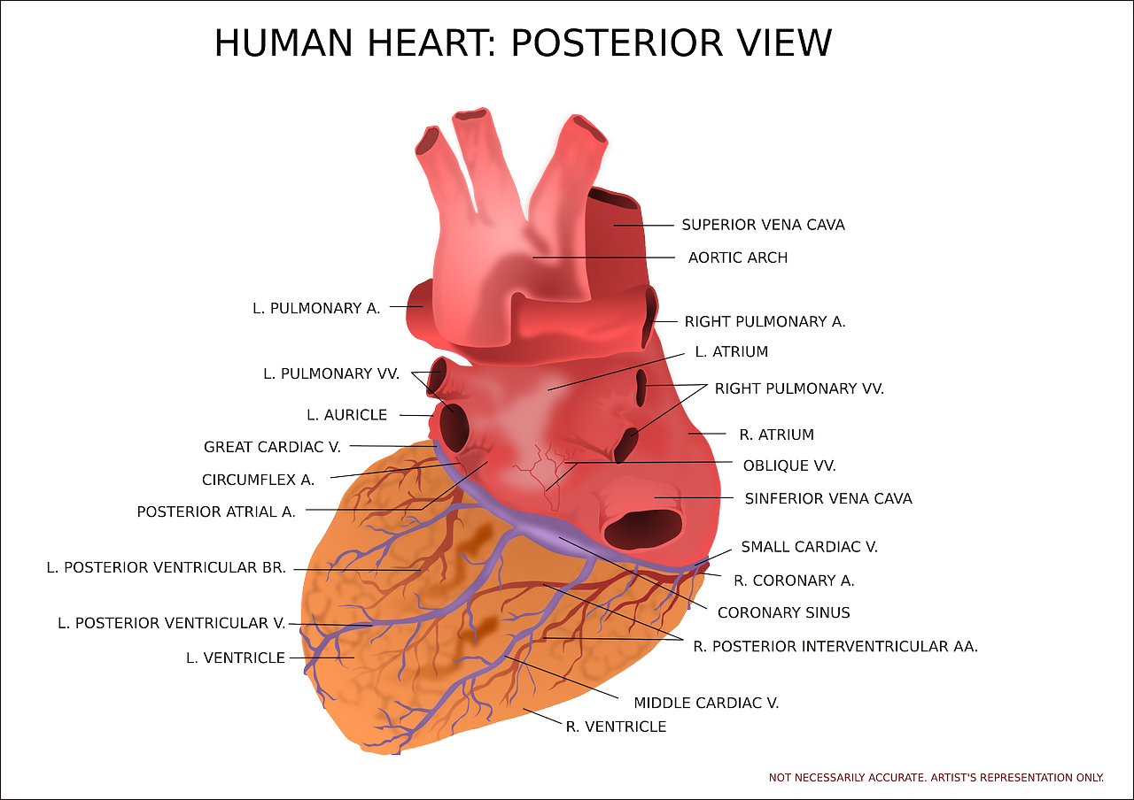 heart ventricle organ free photo