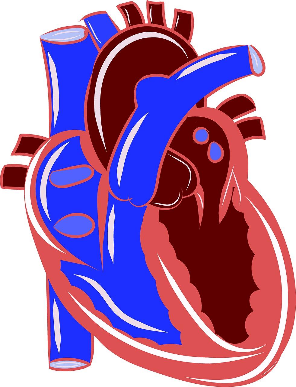 Heart,anatomy,circulatory,health,medical - free image from needpix.com