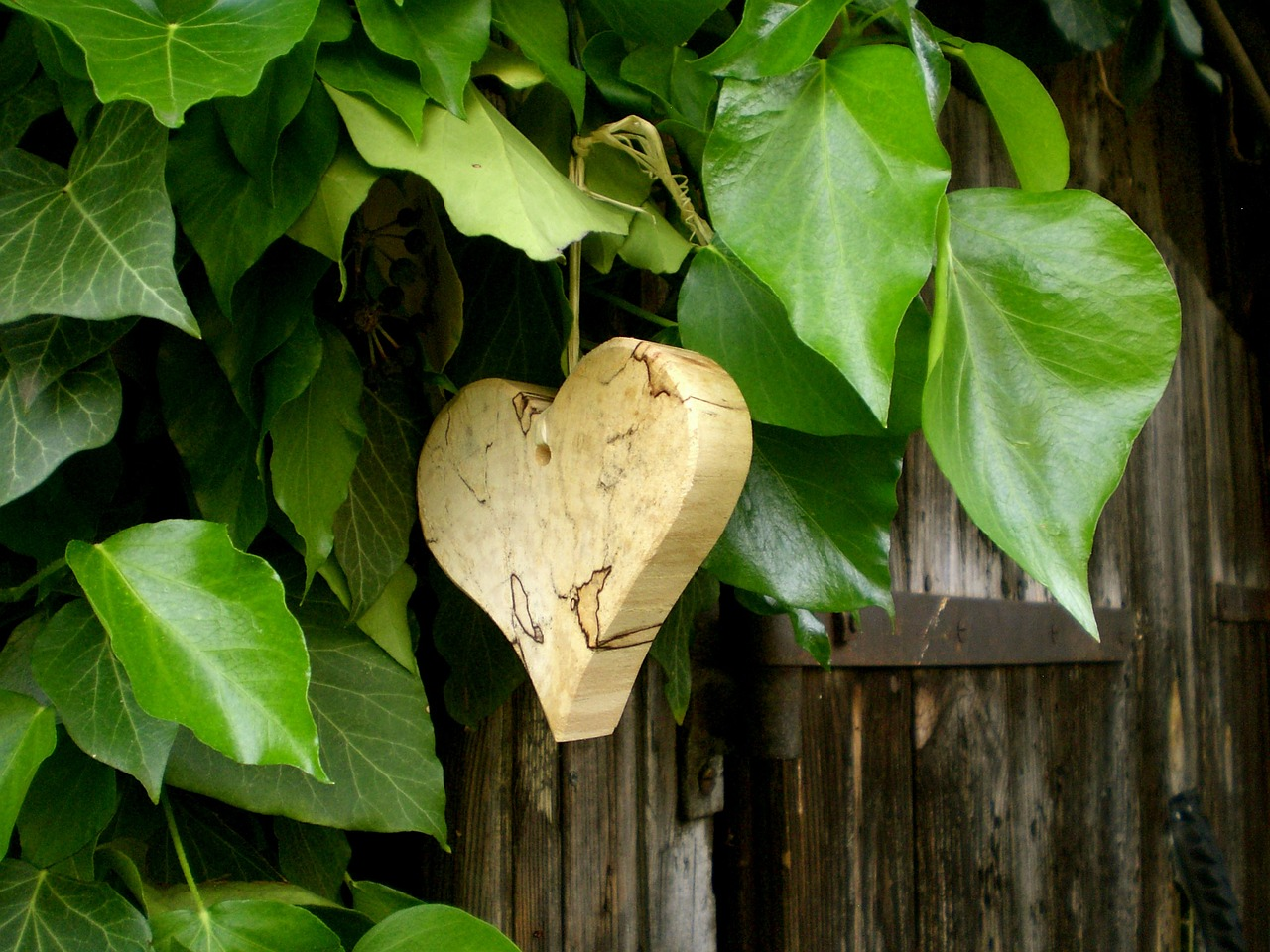 heart,symbol,feelings,romantic,ivy,leaves,wood,climber,grapevines,common ivy,green,still life,free pictures, free photos, free images, royalty free, free illustrations, public domain