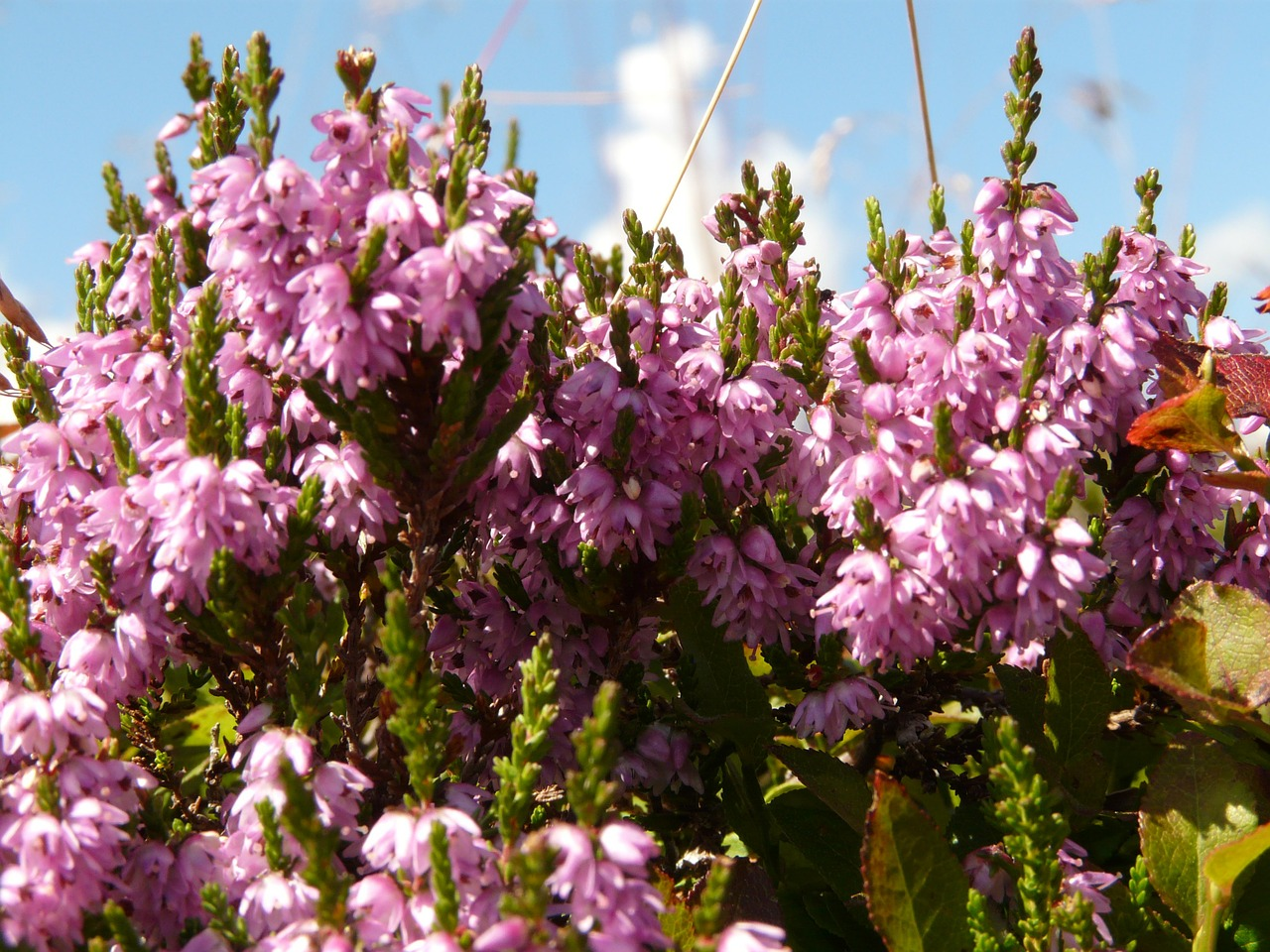 heather plant switches flower free picture