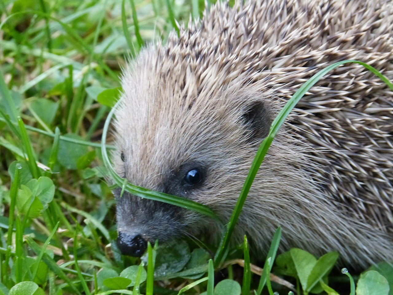 hedgehog erinaceus europaeus spur free photo