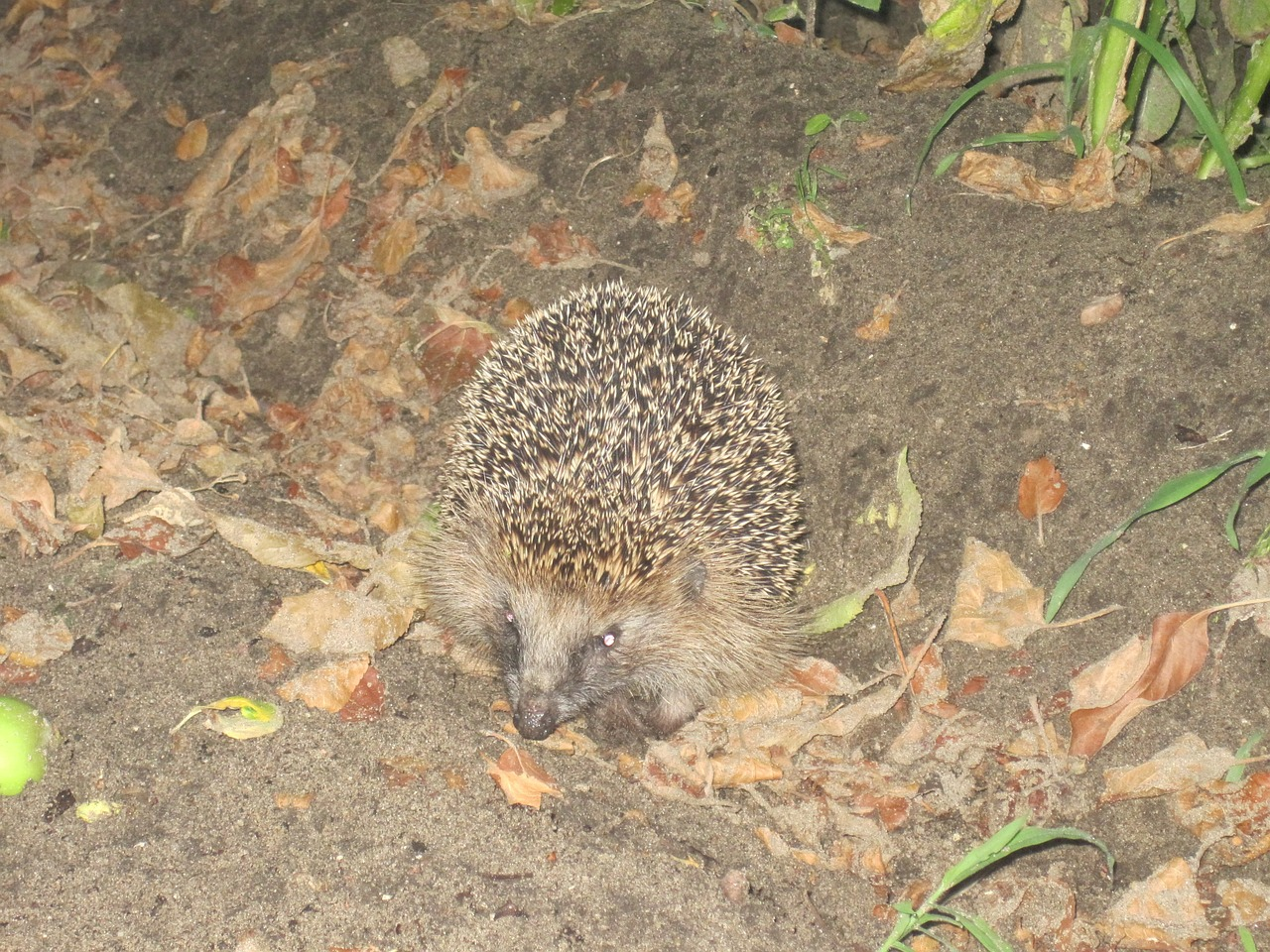 hedgehog spur hibernation free photo