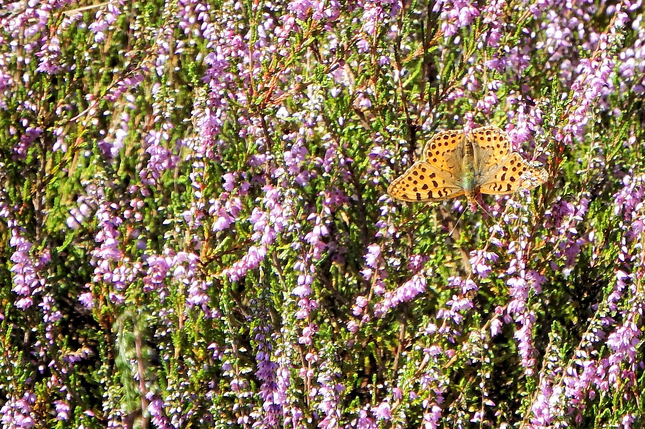 heide butterfly landscape free photo
