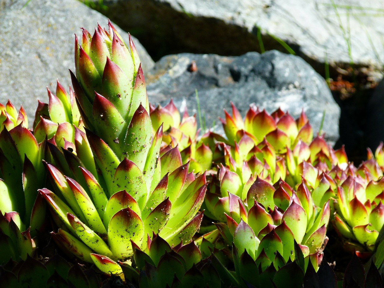 hens and chicks succulent plant nature free photo