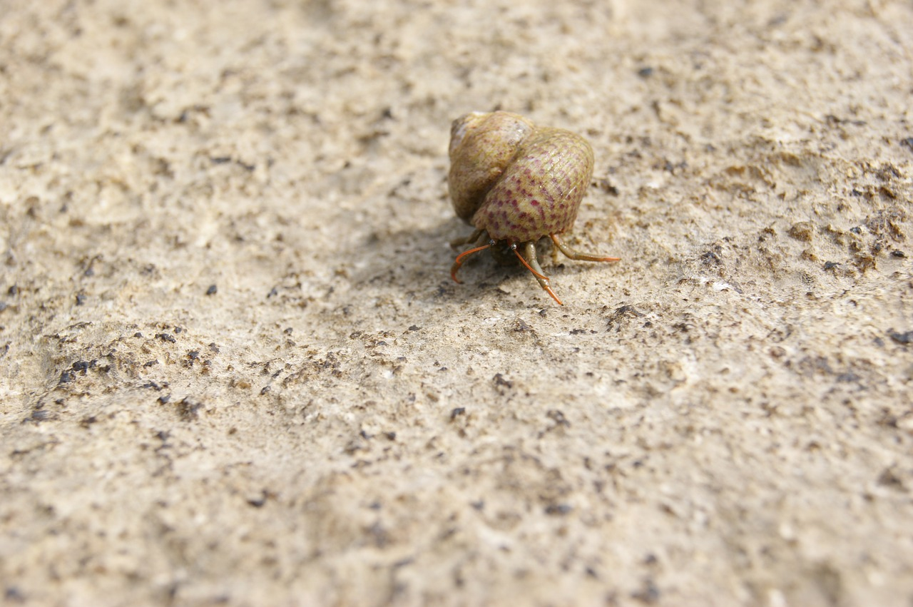 hermit crab shell snail free photo