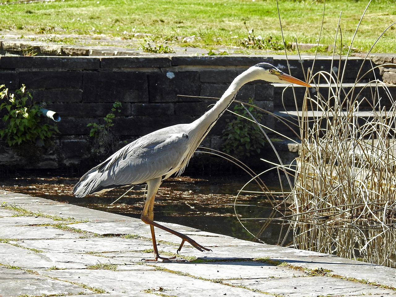 heron fish eater grey heron free photo