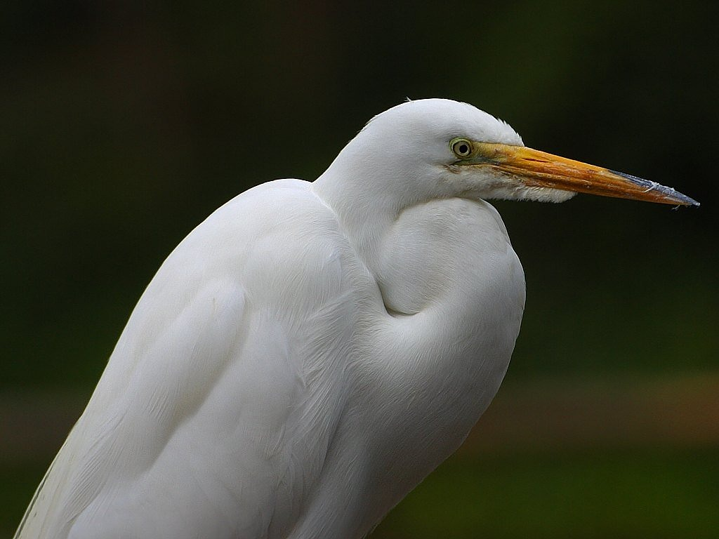 heron white bill free picture