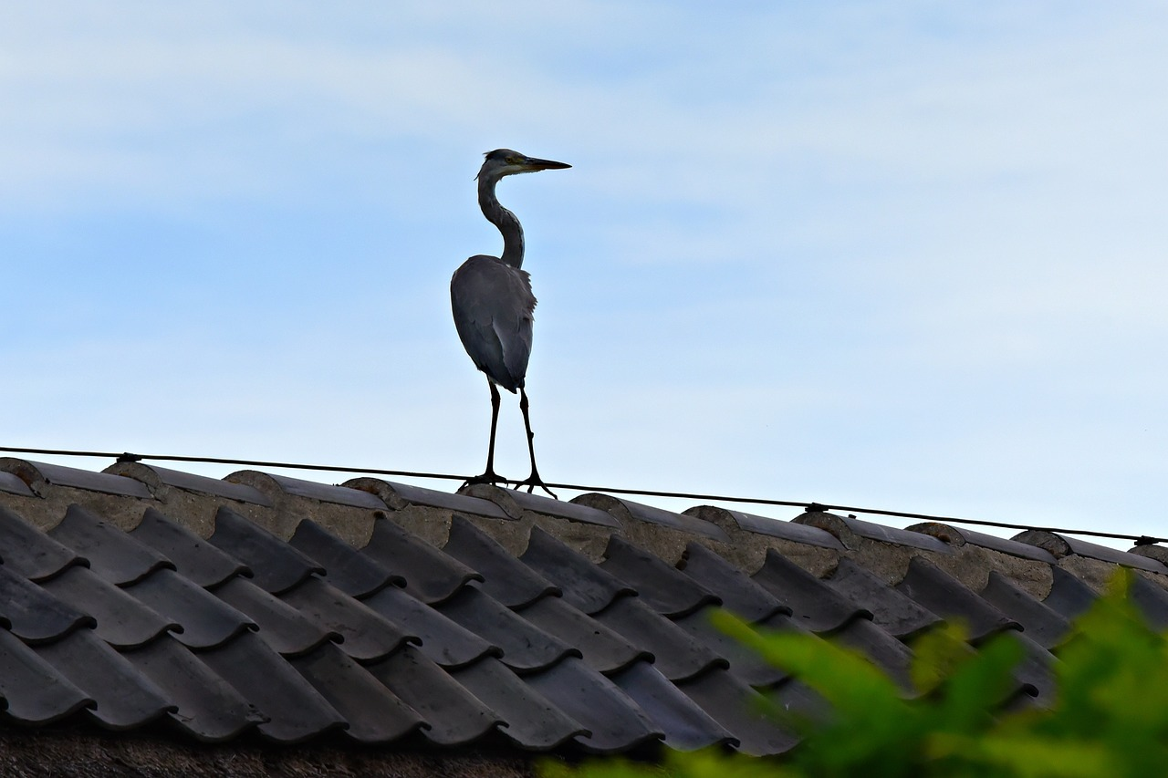 heron, bird, wading bird, bird of prey, animal, wildlife, roof, bird on a roof, standing, outoors,free pictures, free photos, free images, royalty free, free illustrations, public domain