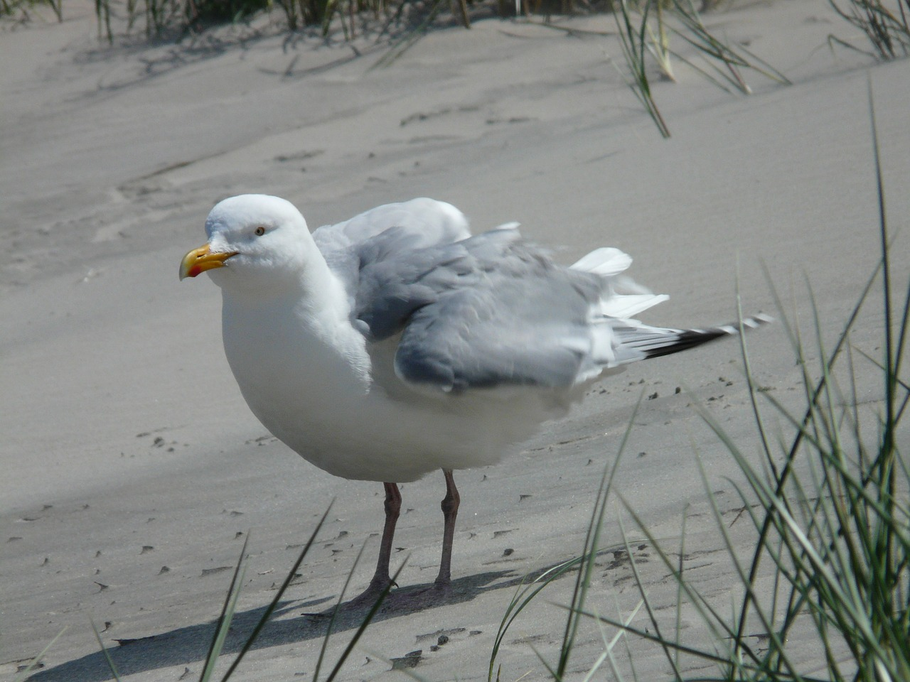 herring gull seagull fluffed up free picture