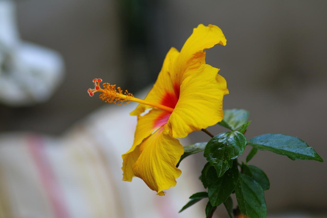 Hibiscusyellowexotic Flowernatureyellow Flowers Free Photo