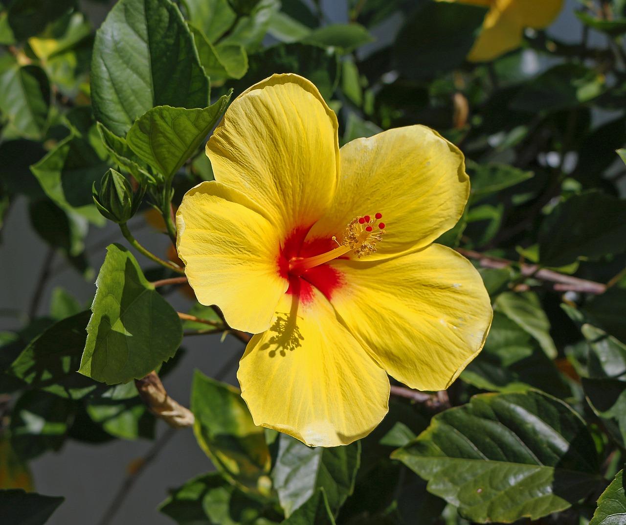 Hibiscusfloweryellowpetalsgarden Free Photo From Needpixcom