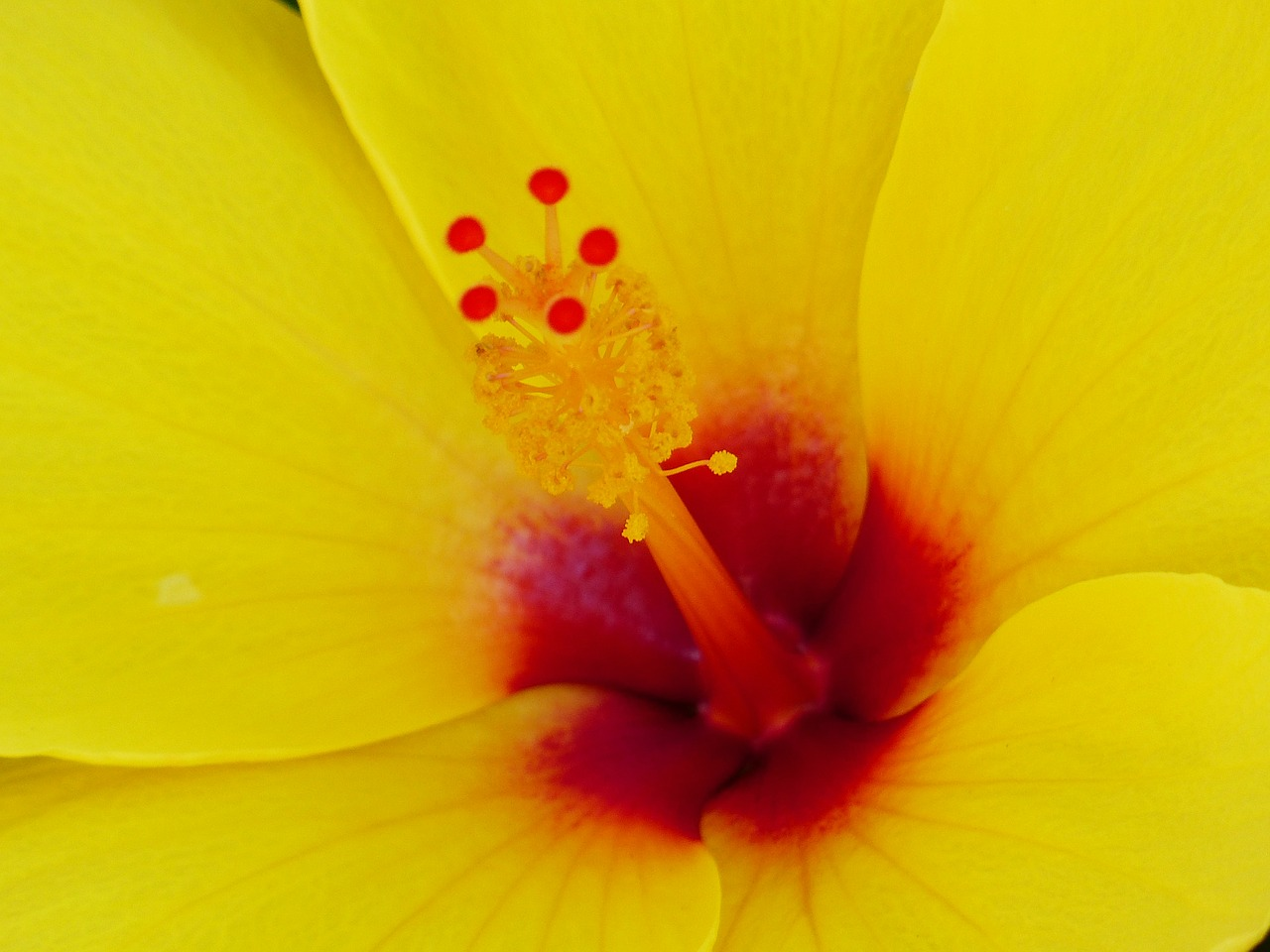 hibiscus stamp pollen free photo