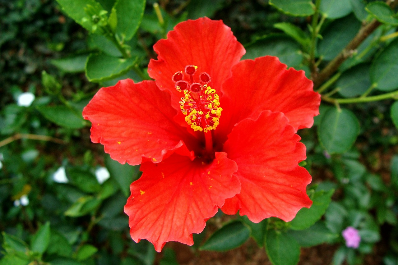 hibiscus red flower free photo