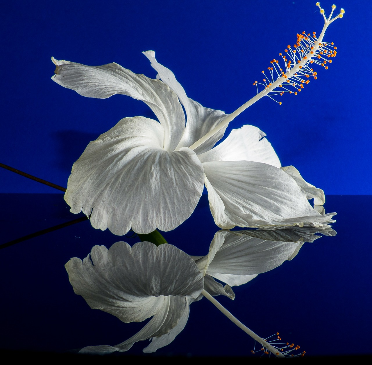 hibiscus blossom bloom free photo