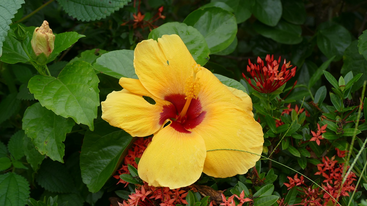 Hibiscusflowervit namnaturecolor free photo from needpix hibiscus flower vit nam izmirmasajfo