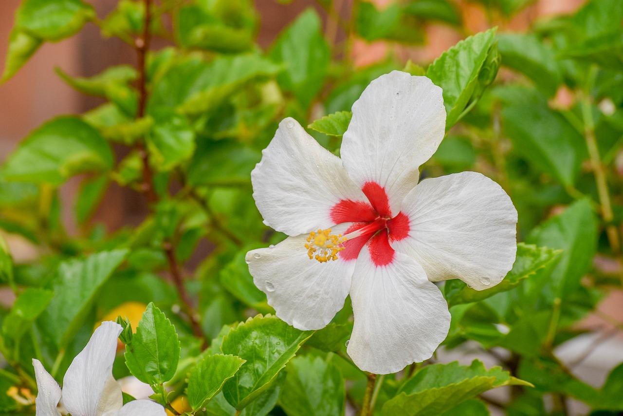 Download Free Photo Of Hibiscus White Bunga Raya Putih Bunga Kebangsaan From Needpix Com