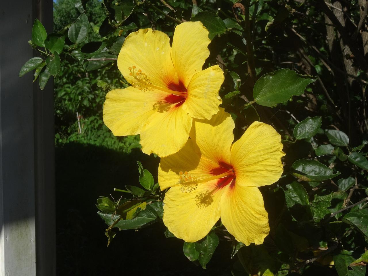 Hibiscusflowershibiscus Flowermarshmallowyellow Free Photo
