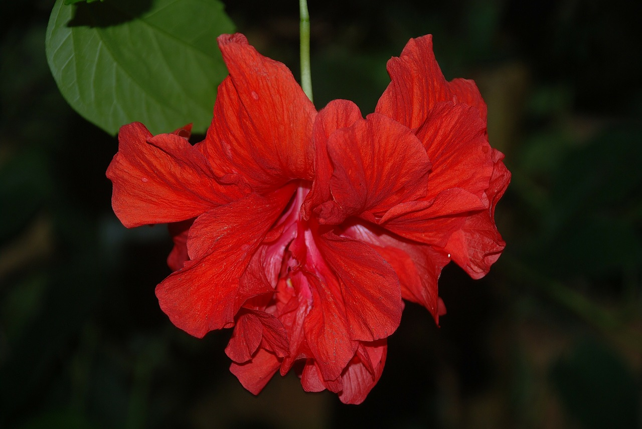 hibiscus flower red free photo