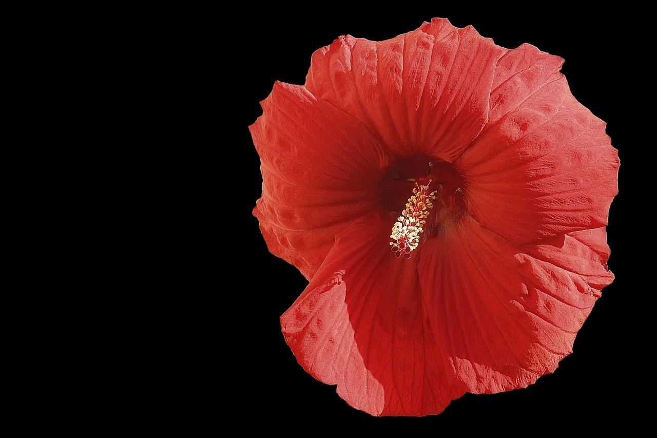 Hibiscus flowergiant hibiscusredhibiscusblack background free hibiscus flowergiant hibiscusredhibiscusblack backgroundfree pictures izmirmasajfo