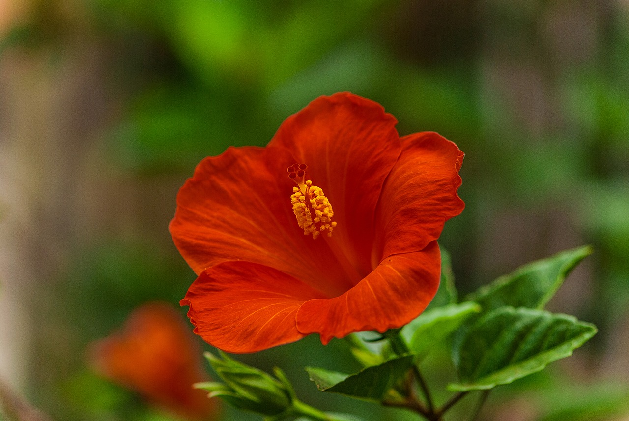 Hibiscus flowersbeautiful flowersflowersplant free photo from hibiscus flowers beautiful flowers flowers izmirmasajfo