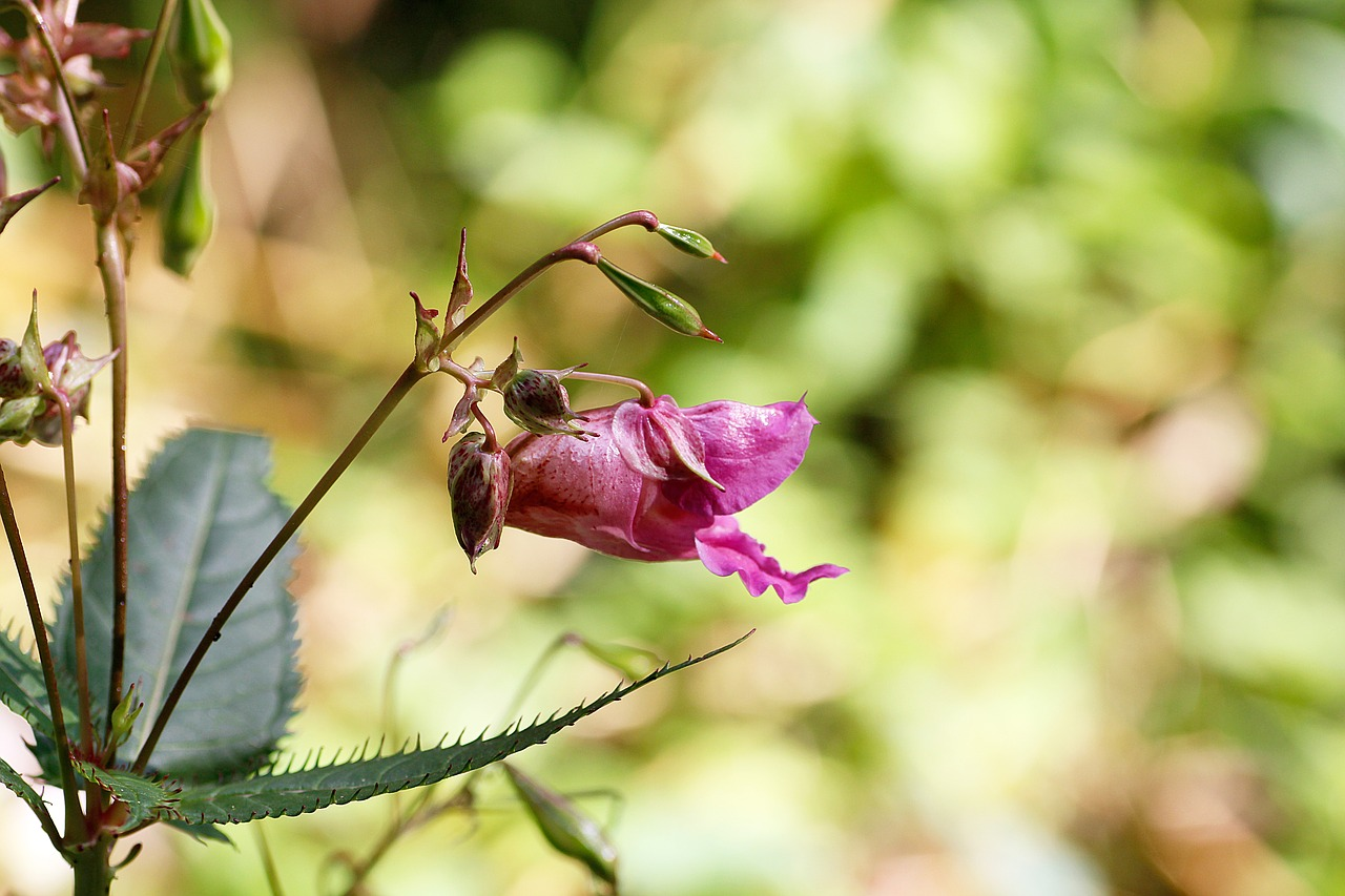 himalayan balsam  forest  plant free photo