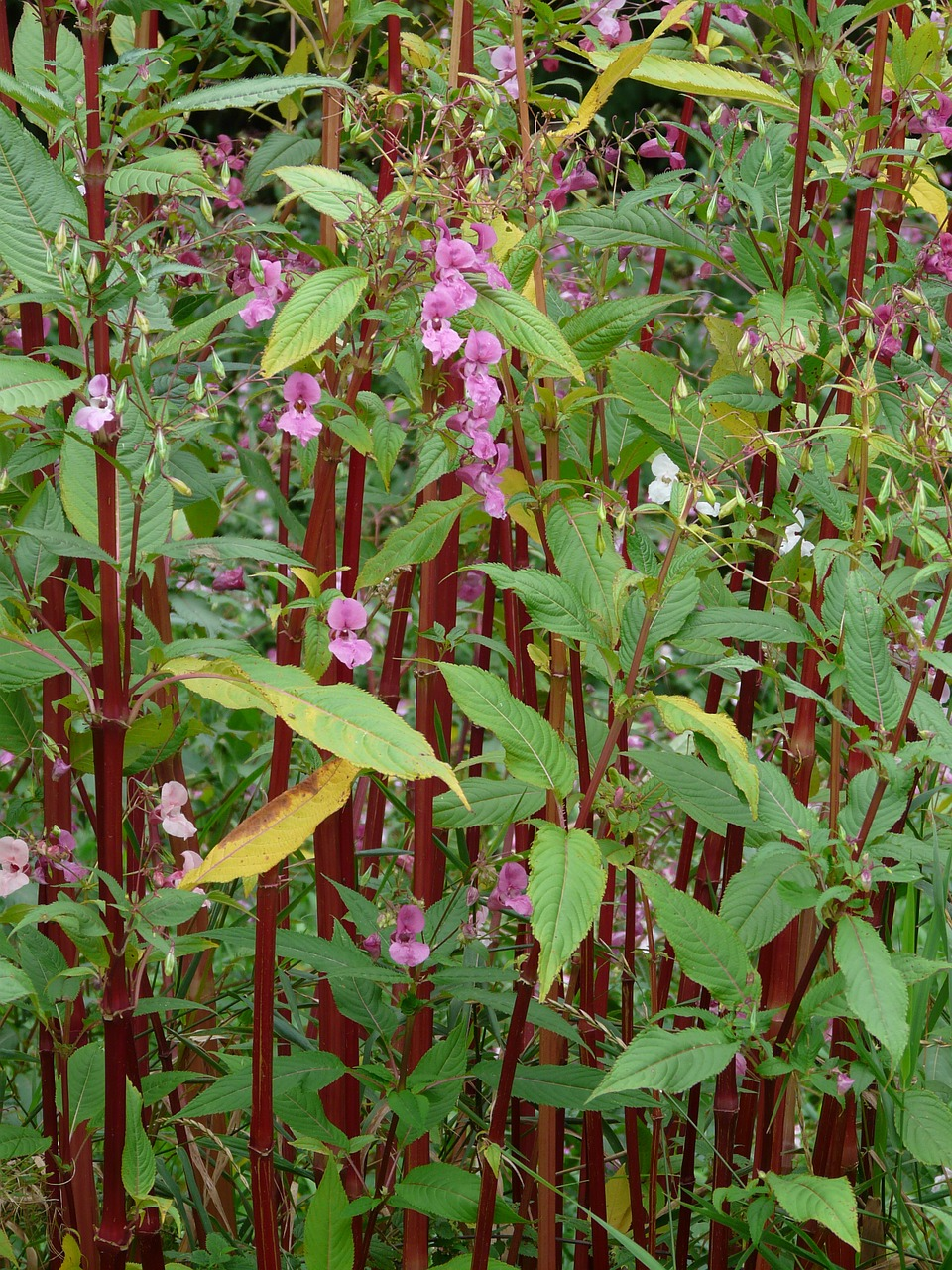 himalayan balsam stalk red free photo