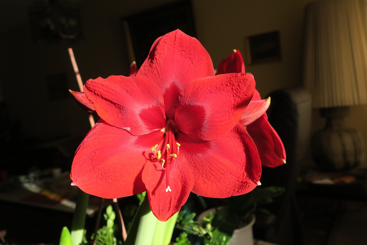 hippeastrum,knights star,amaryllis,flower,free pictures, free photos, free images, royalty free, free illustrations, public domain