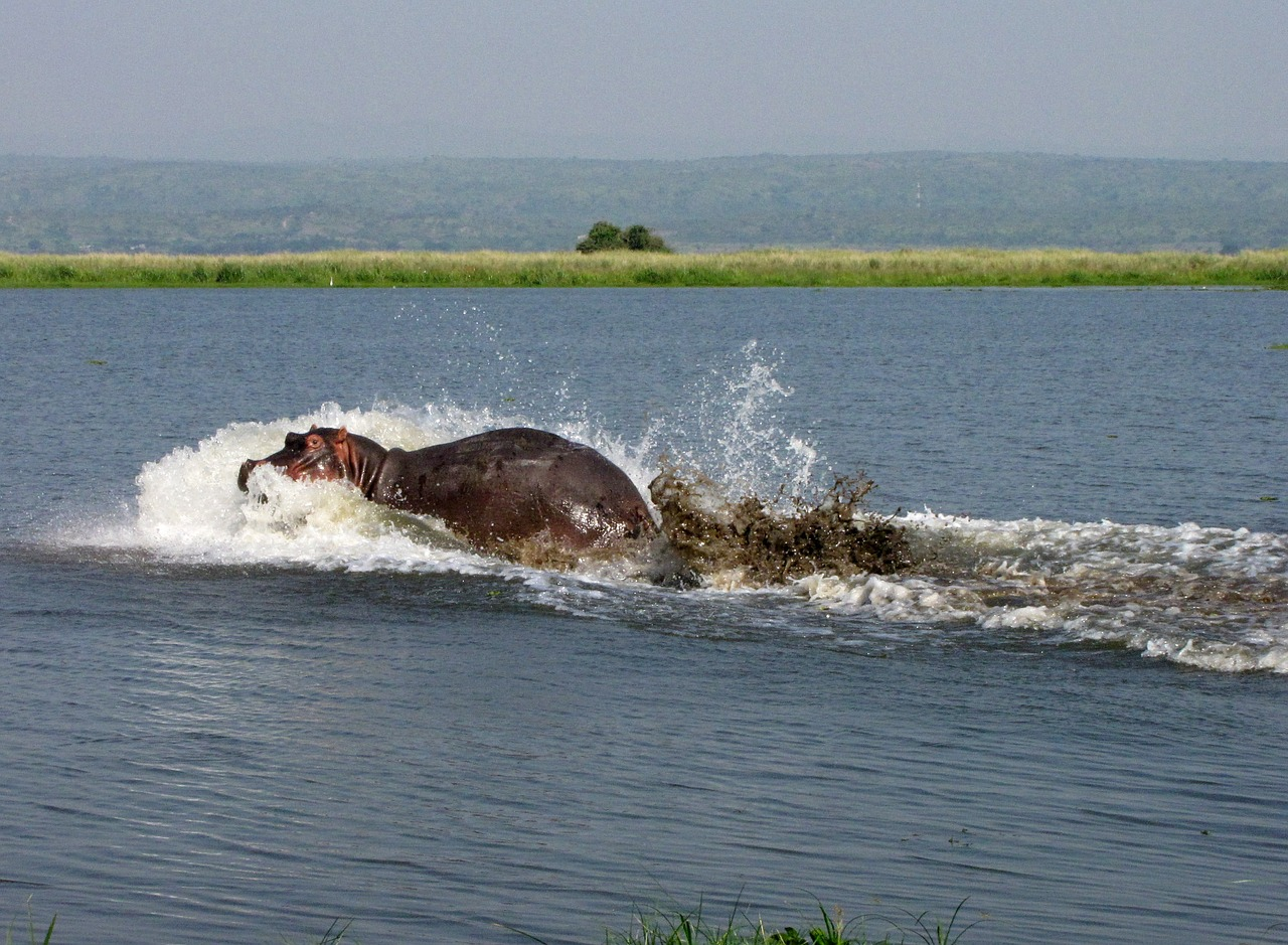 hippo,nile,uganda,free pictures, free photos, free images, royalty free, free illustrations, public domain
