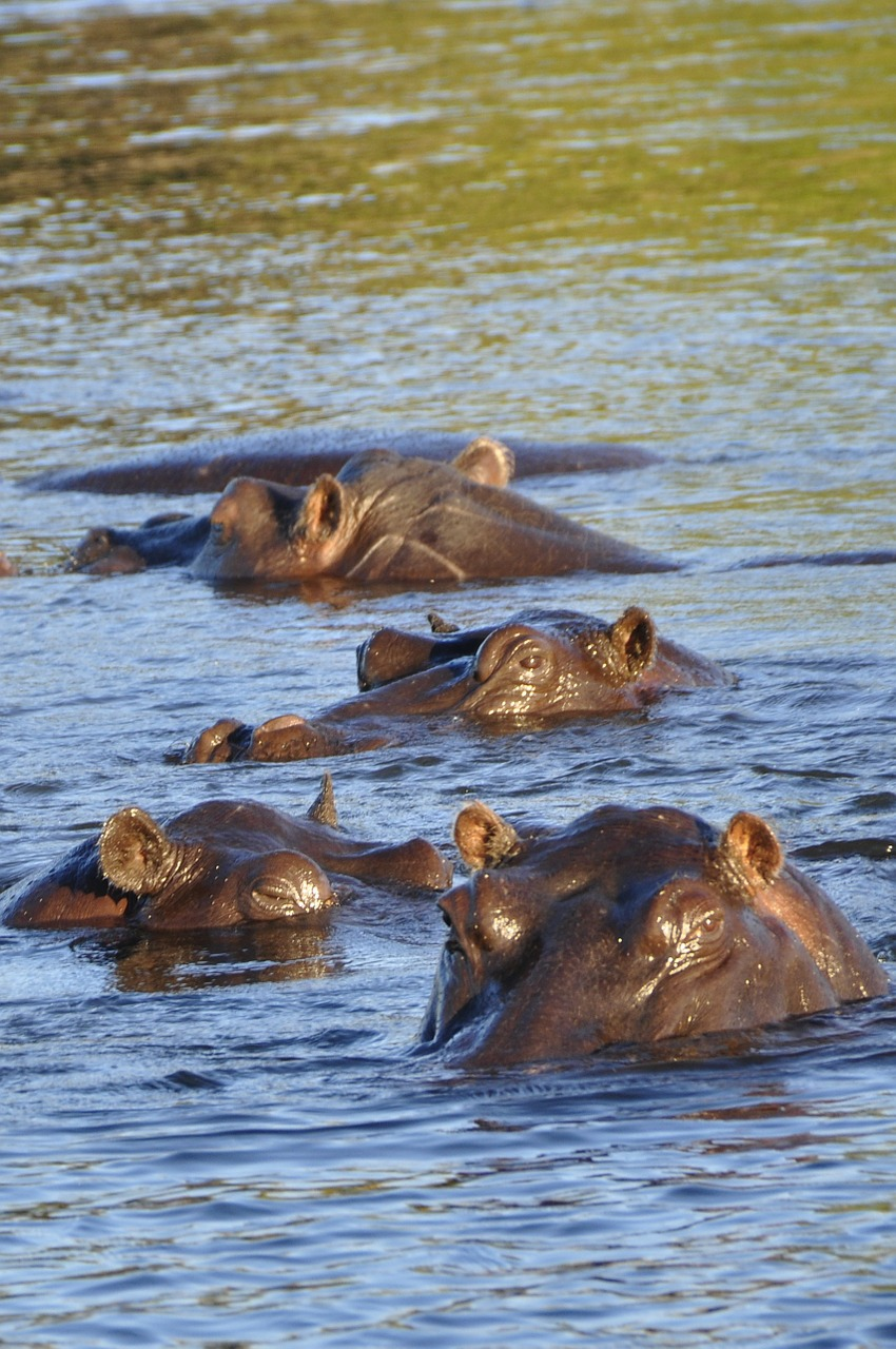 hippo hippopotamus river free photo