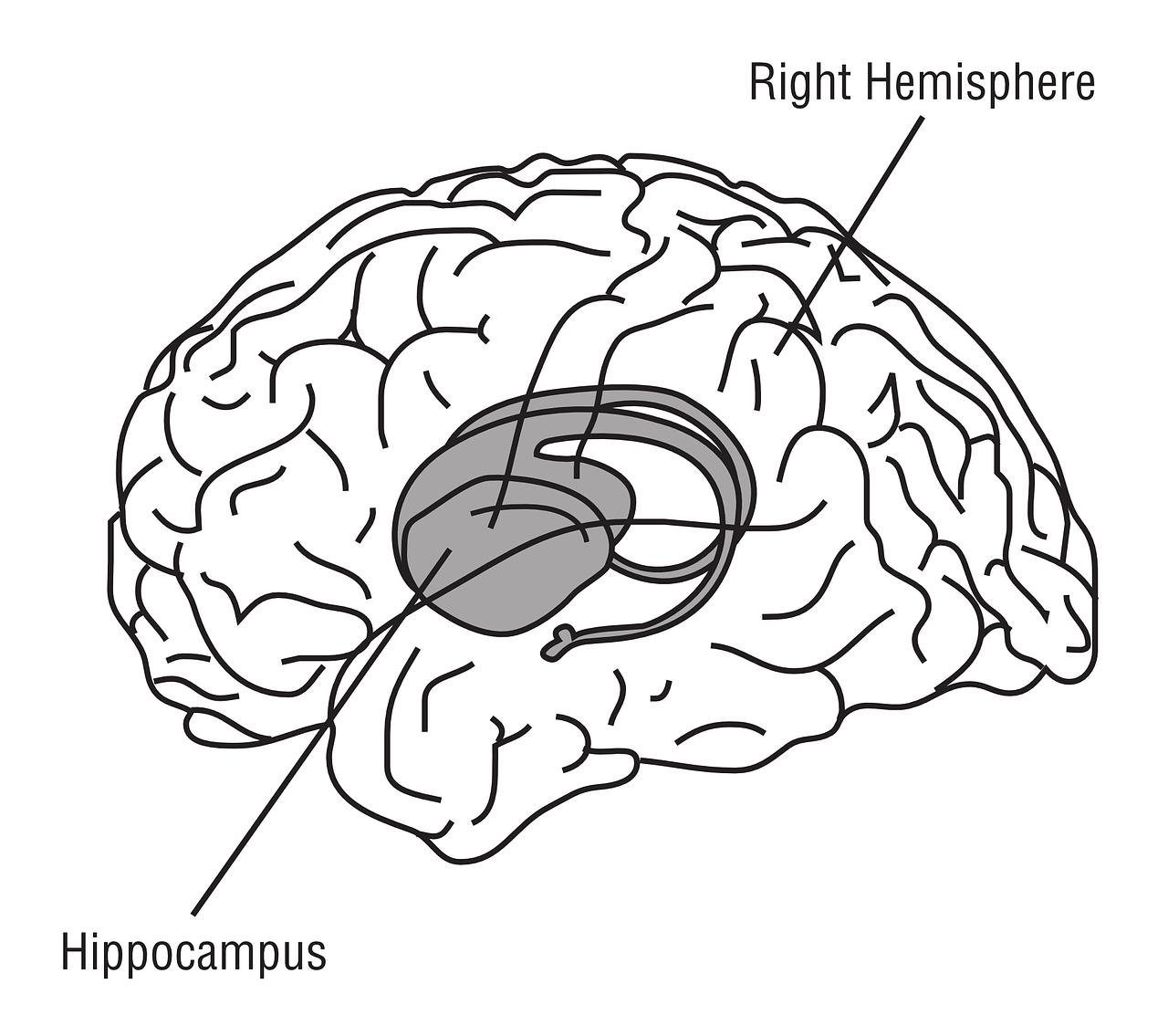 Hippocampus,brain,anatomy,medicine,free vector graphics - free photo ...