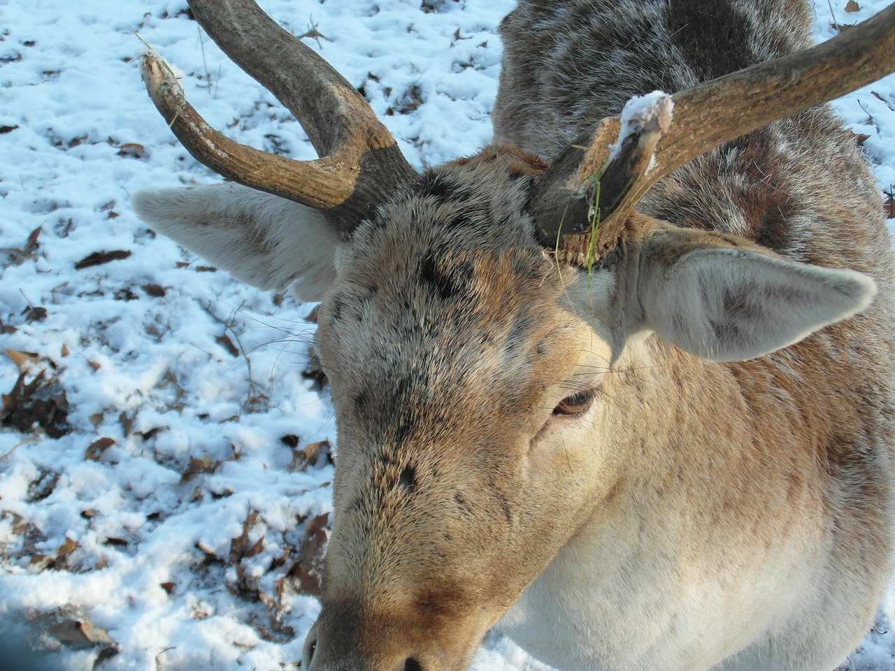 hirsch fallow deer winter free photo