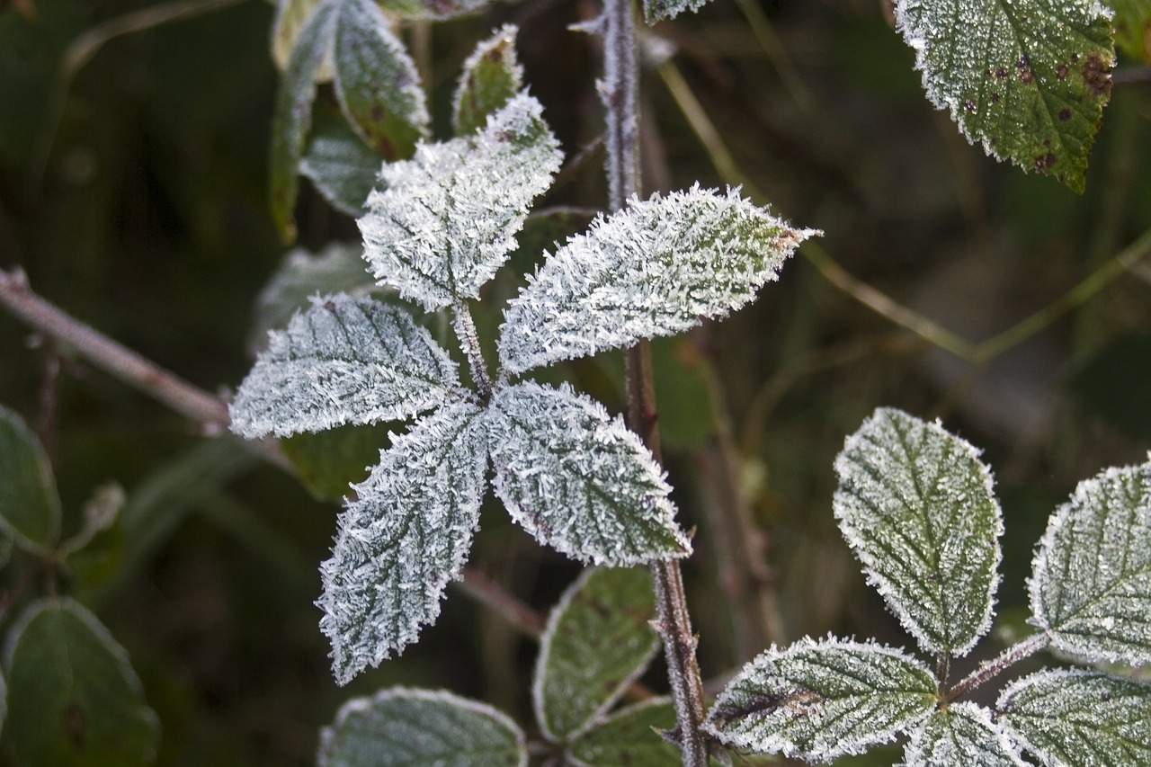 hoarfrost leaves blackberry free photo