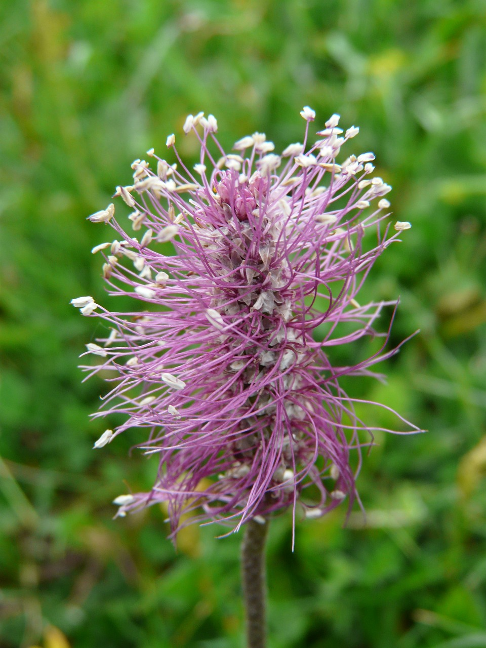 hoary plantain plantain flower free photo
