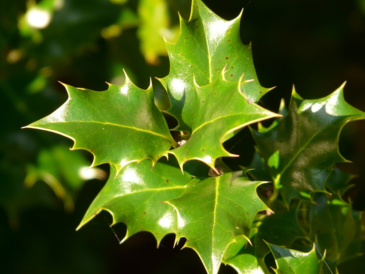 holly leaf plant free picture