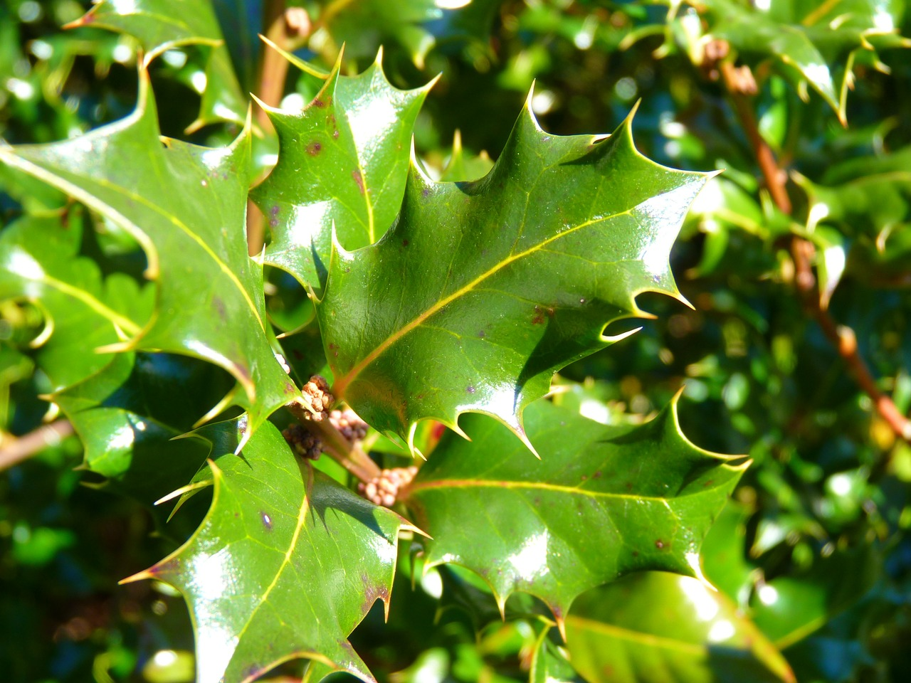 holly ilex leaf free photo