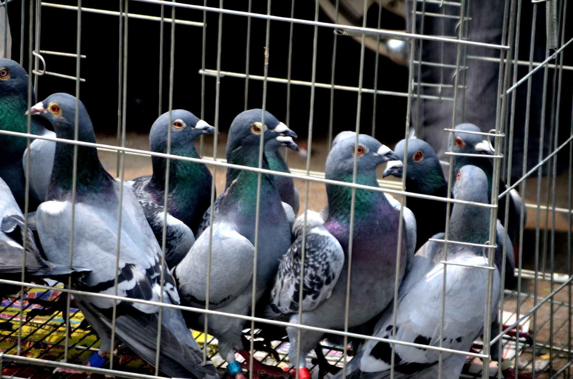 Animals,bird,pigeon,pigeons,homing - free image from needpix.com