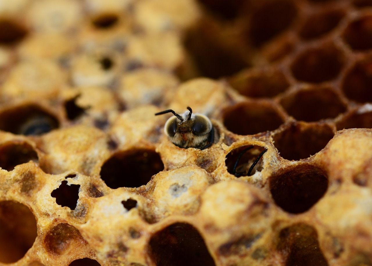 honey bees drone hatching free photo