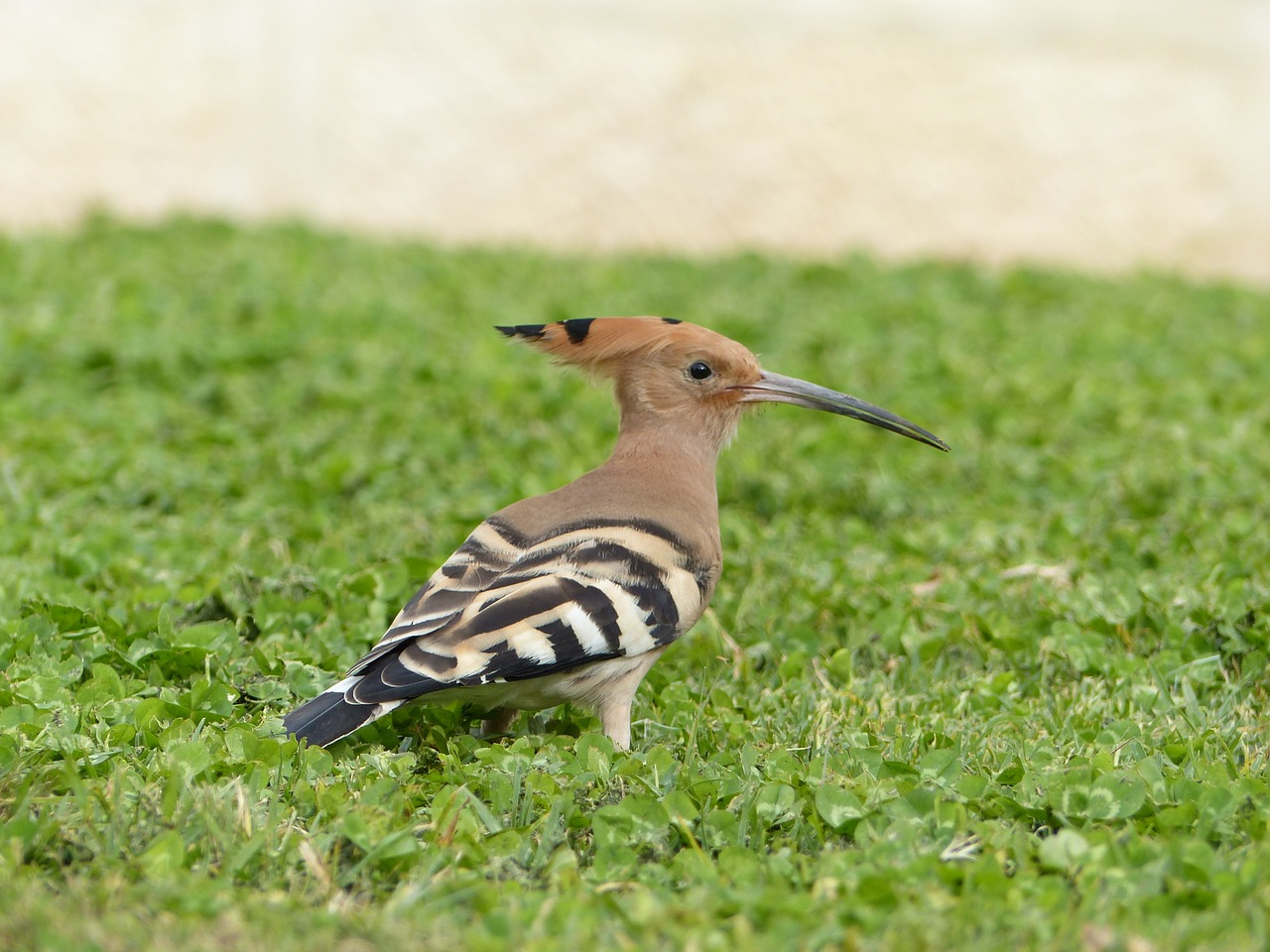 hoopoe bird birdwatching free photo