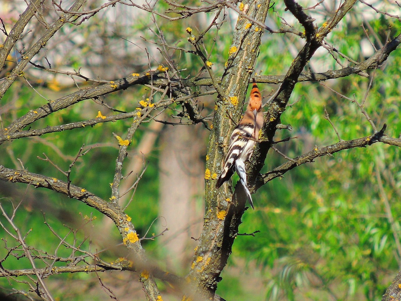 hoopoe bird fauna free photo