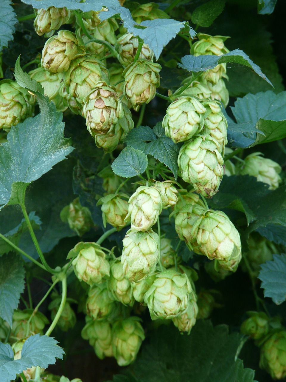 hops plant humulus free photo