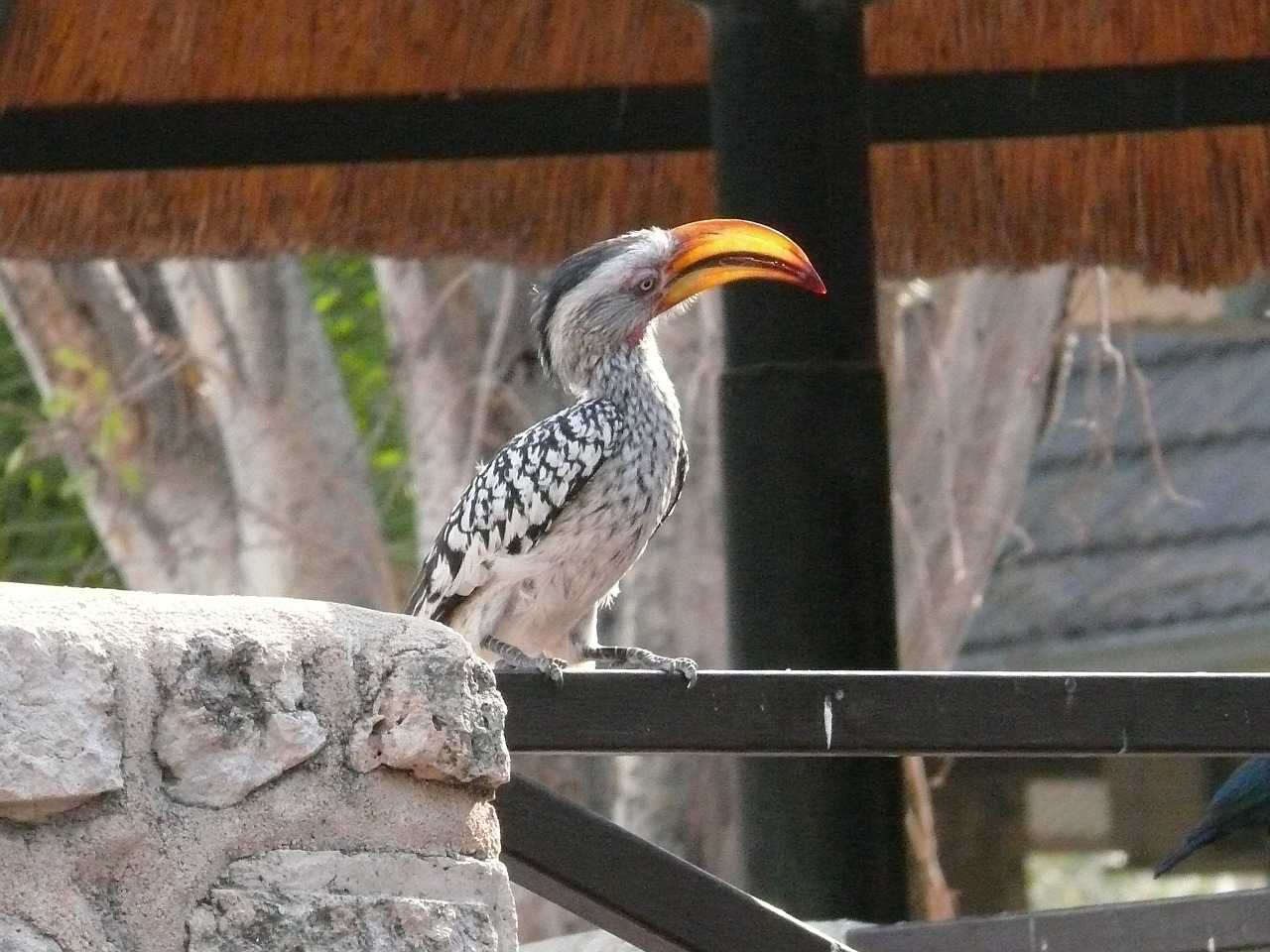 hornbill bird animal free photo