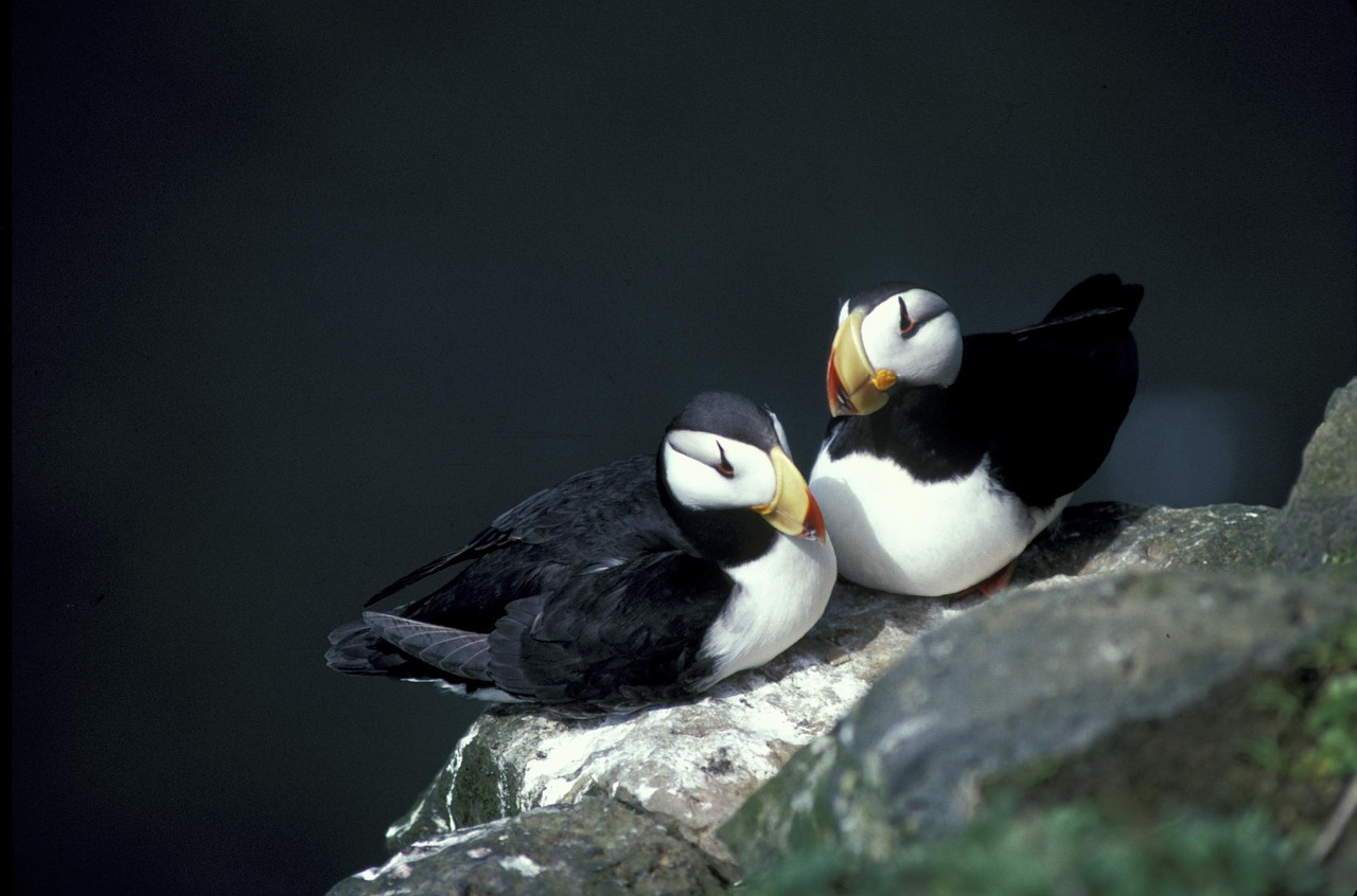 horned puffin seabird nesting rock free photo