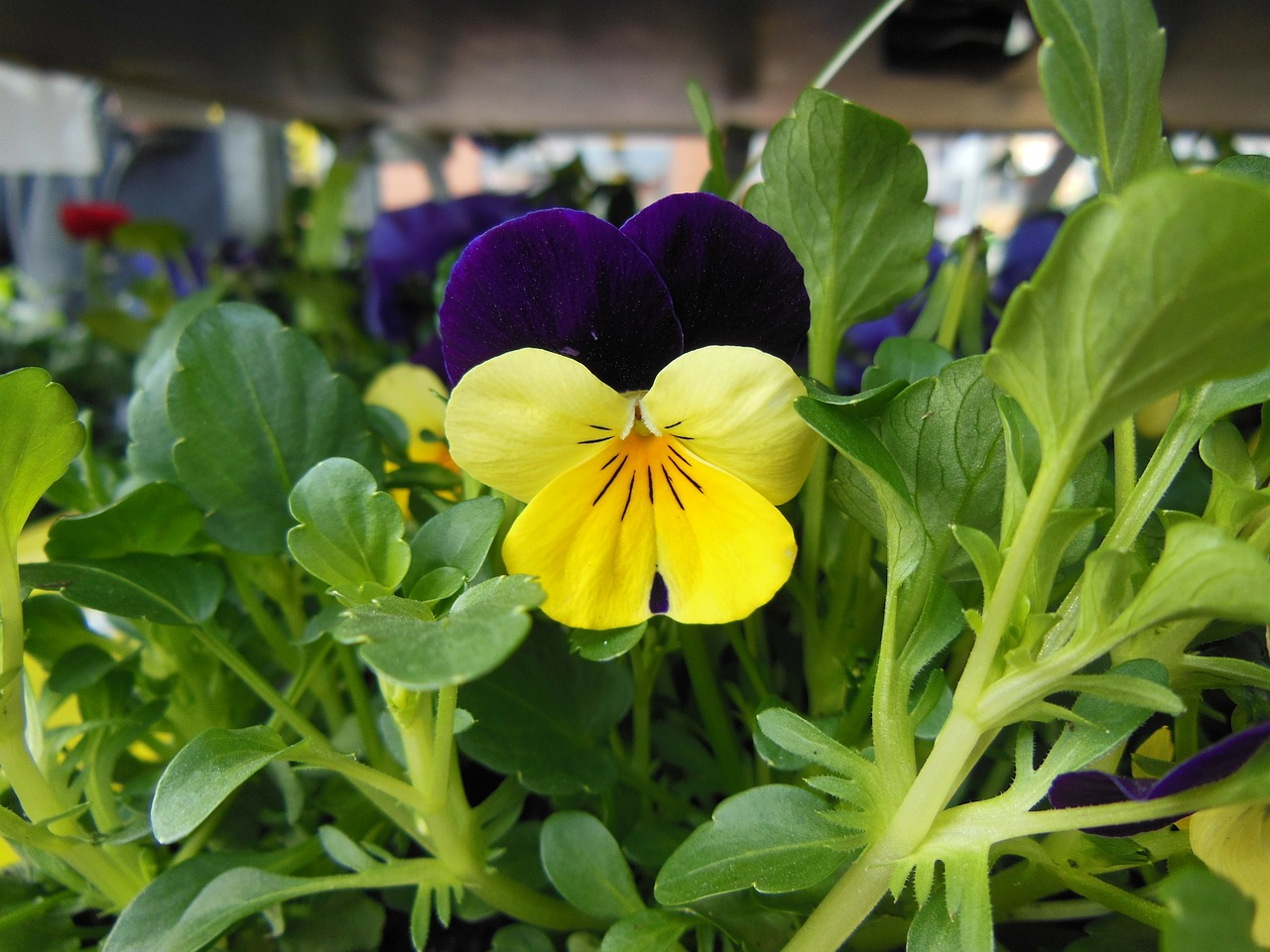 horned violet purple yellow free photo