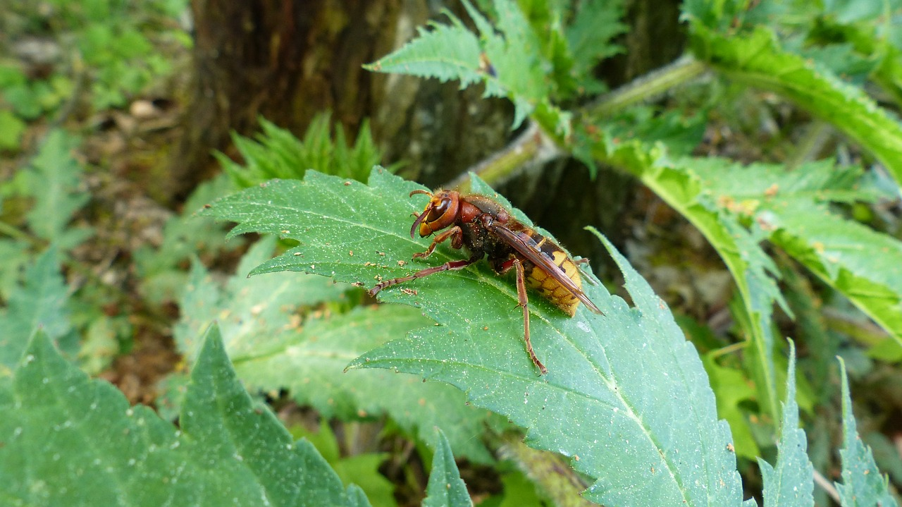 hornet vespa crabro vespidae stubs free photo