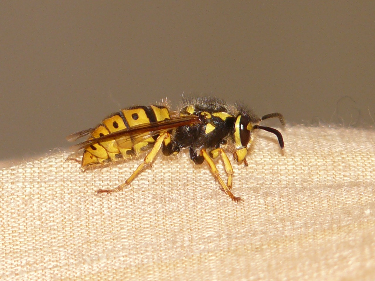hornet wasp insect free picture