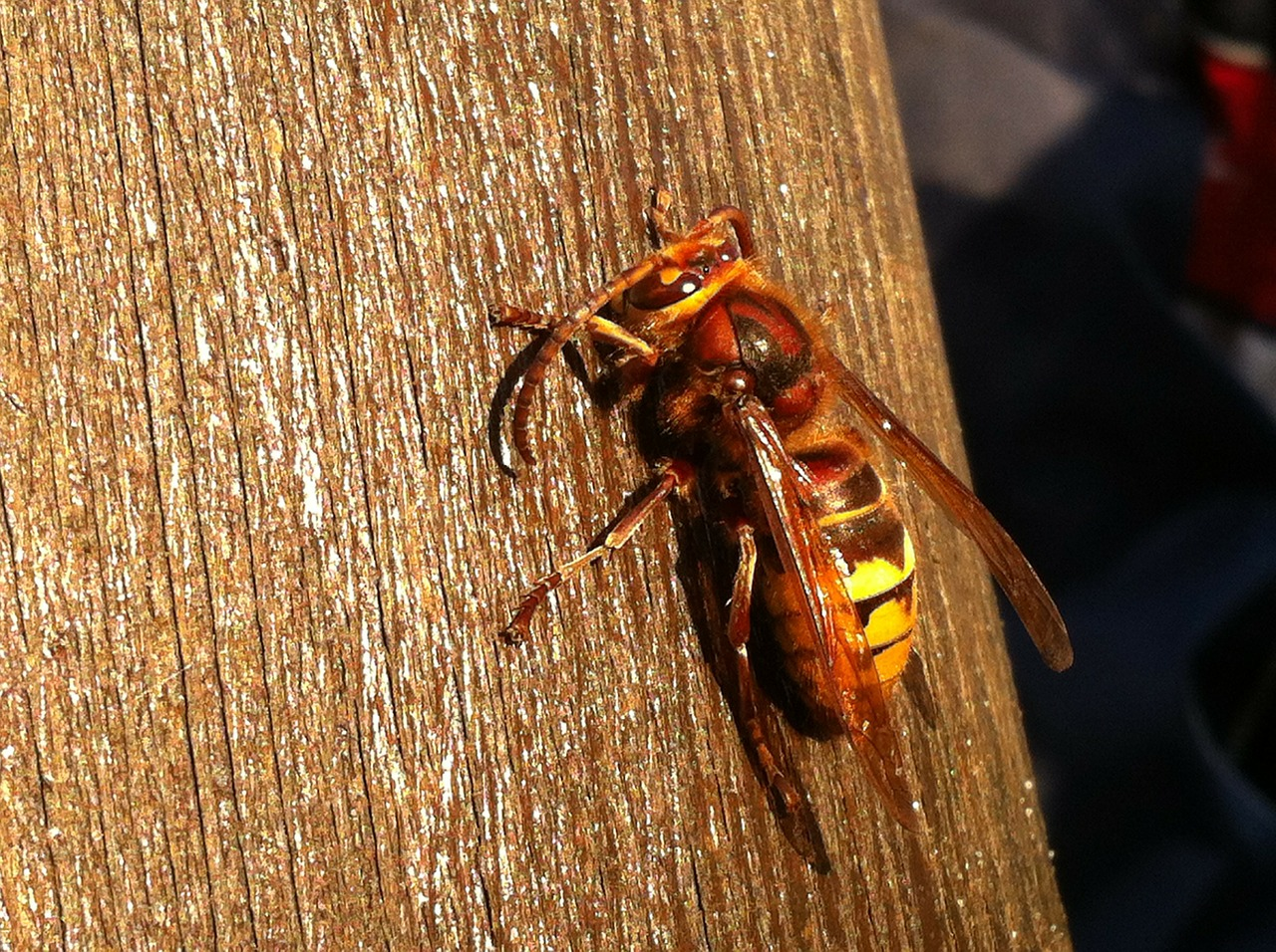 hornet insect close free photo