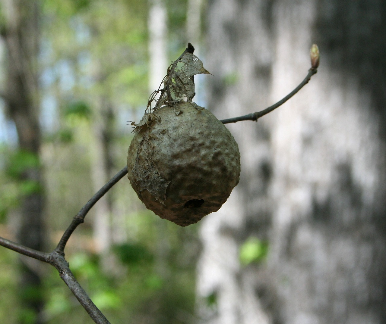 hornet nest insect free photo