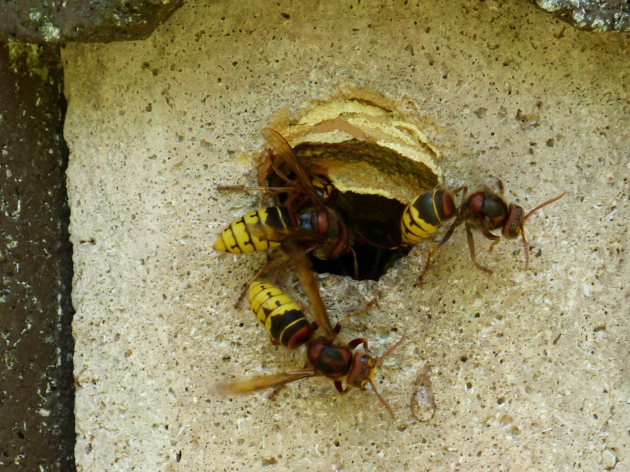 hornets vespa crabro animal free photo