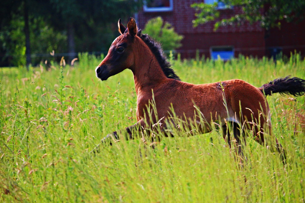 horse foal thoroughbred arabian free photo