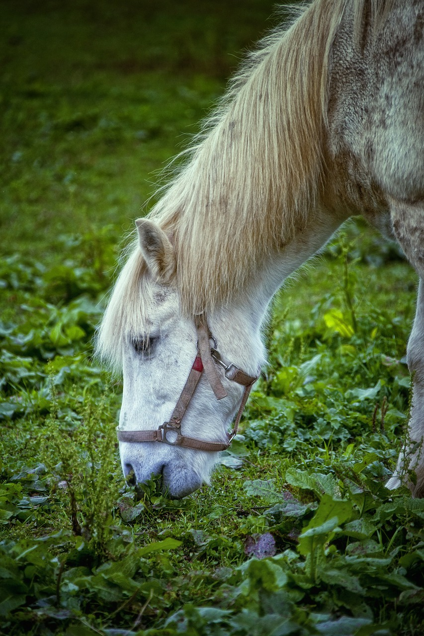 horse,white,horse head,animals,free pictures, free photos, free images, royalty free, free illustrations, public domain